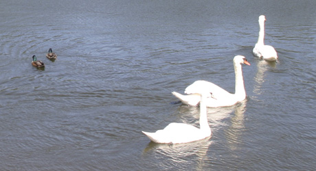 Swans at Queen's Valley